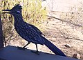 Roadrunner Closeup.jpg