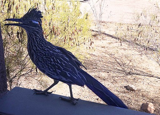 Roadrunner Closeup