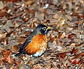 Robin (389989534).jpg