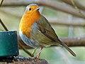 Robin (8250792366).jpg