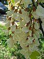 Robinia pseudoacacia 'fraisia' flower by Line1.jpg