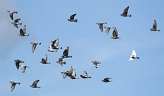 Rock doves in flight.jpg