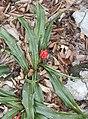 Rohdea japonica s8.jpg