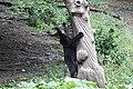 Romania bear (44158247461).jpg