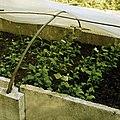Rooting of green cuttings of Hibiscus syriacus.jpg