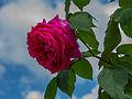 Rosa 'Madame Isaac Pereire'. Locatie De Kruidhof 03.JPG