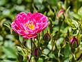 Rosa 'Pea Glow' (d.j.b) 02.jpg