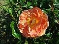 Rosa Pat Austin 2019-06-04 5977.jpg