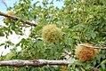 Rosa canina fruit (02).jpg