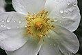 Rosa canina inflorescence (110).jpg