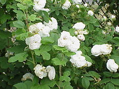 Rosa damascena3.jpg