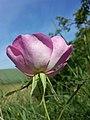 Rosa gallica sl30.jpg