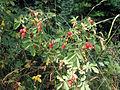 Rosa glutinosa2.jpg