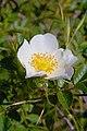 Rosa majalis inflorescence (02).jpg