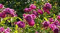 Rose, バラ, (10611070283).jpg