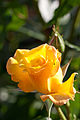 Rose, Goldmarie '84 - Flickr - nekonomania.jpg