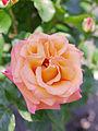 Rose, Mona Lisa, バラ, モナリザ, (14156481855).jpg