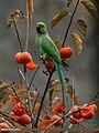 Rose-ringed Parakeet (Psittacula krameri) (22459948485).jpg