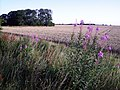 Rose Bay Willow Herb - geograph.org.uk - 1414460.jpg