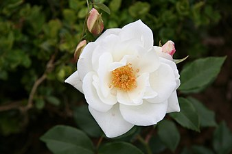 Rose Fee des Neiges 20070601.jpg