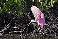Roseate spoonbill landing ii, little estero lagoon (31272338383).jpg