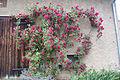 Rosen in Merkendorf 01.jpg