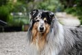 Rough Collie 2.jpg