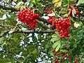 Rowan berries - geograph.org.uk - 241799.jpg
