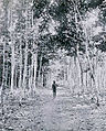 Rubber plantation-Benin City-1911.jpg