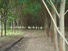 What Is Rubber Made Of >> Natural Rubber Wikipedia