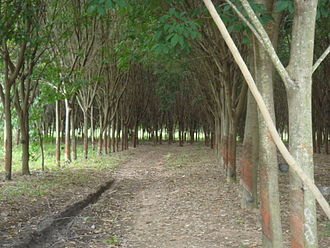 Natural rubber - Rubber tree plantation in Thailand