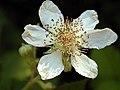 Rubus discolor blossom.jpg