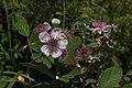 Rubus vestitus-Ronce-Fleurs blanches--20150616.jpg