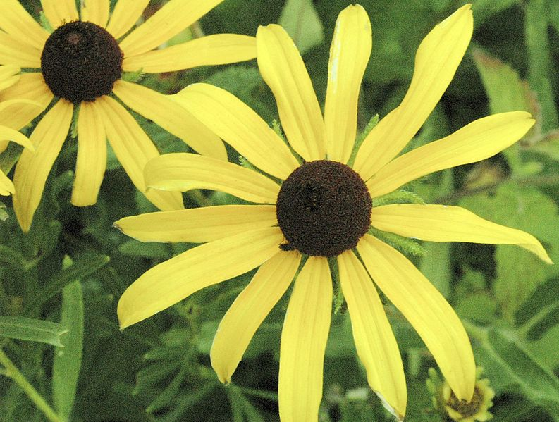 File:Rudbeckia hirta BLACK-EYED SUSAN (4681832555).jpg