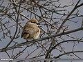 Rufous-tailed Shrike (Lanius isabellinus) (37406318754).jpg