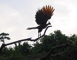 Guyana - The hoatzin is the national bird of Guyana.