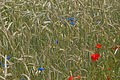 Rye with bluebottle and corn poppy II.jpg