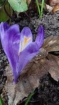 Saffron - Crocus vernus 49.jpg