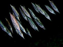Un banc de bécasses de mer