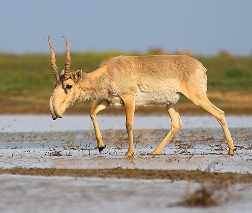 Saiga antelope at the Stepnoi Sanctuary
