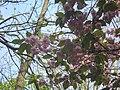 Sakura Lviv.jpg