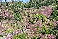 Sakura at Mount Yae 202001 01.jpg