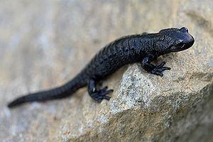 Species complex - Salamandra atra