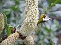 Salix lanata female catkin.JPG