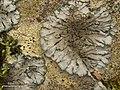 Salted Shell Lichen (4502430669).jpg