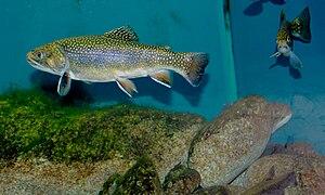 Historique des poissons  dans POISSON 300px-Salvelinus_fontinalis_Prague_Vltava_2