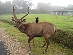 Sambar in Horton Plains National Park 03.JPG