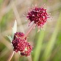 Sanicula bipinnatifida (13385079003).jpg