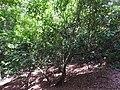 Sanjappa cynometroides-1-rosemalai-kerala-India.jpg