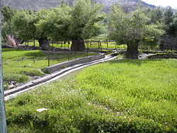 A lush green barley field at Kausar, Sankoo